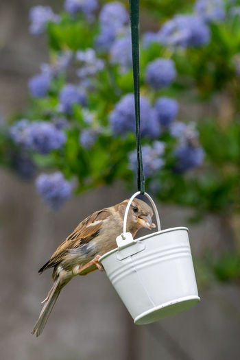 City wildlife with a house sparrow, passer domesticus, perched on a garden bird feeder