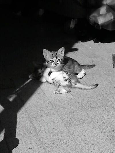 Cat 1913