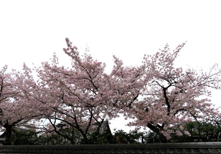 Flowerview サクラ