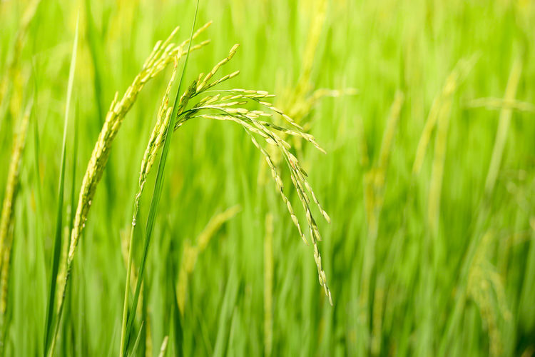 Plant Agriculture Cereal Plant Growth Green Color Crop  Field Farm Rural Scene Land Beauty In Nature Nature Wheat Landscape Close-up Grass Rice - Cereal Plant Ear Of Wheat Barley Focus On Foreground No People Outdoors Plantation Blade Of Grass