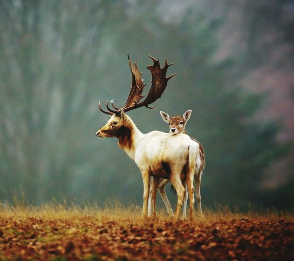 Stag and doe on field