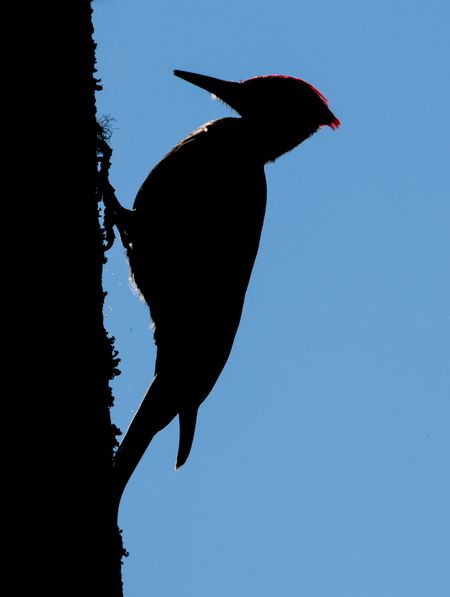 The pileated woodpecker is a large woodpecker native to North America. This woodpecker was hunting bugs. Birds Of EyeEm  Birdwatching Pileated Woodpecker Red Head Redhead Silhouette Animal Themes Animal Wildlife Animals In The Wild Backlighting Bird Clear Sky Close-up Low Angle View Nature No People One Animal Outdoors Perching Red Red Feathers Silhouette Silhouette Photography Sky Woodpecker Silhouette