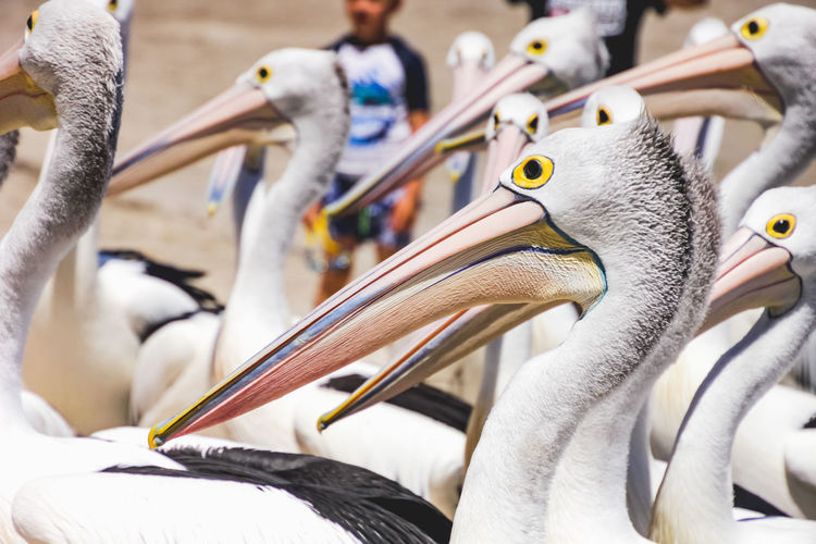 close up of pelicans at a local beach Animal Bird Vertebrate Animal Themes Animal Wildlife Group Of Animals Animals In The Wild Focus On Foreground Close-up Choice Beak Day Variation White Color Pelican Incidental People Medium Group Of Animals Flock Of Birds Pelicans