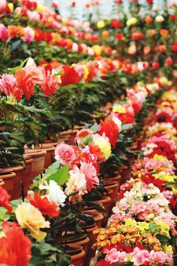 Begonia Garden.