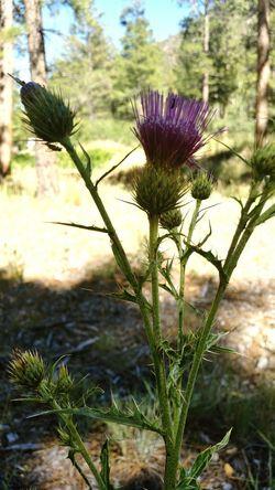 Nature Shot Flowers Mount Charleston