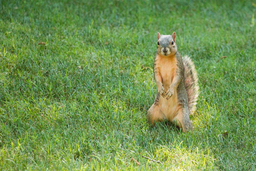 Squirrel striking a pose Animal Wildlife Animals In The Wild Day Field Grass Green Color Land Mammal Nature No People One Animal Outdoors Plant Portrait Rodent Sitting Vertebrate