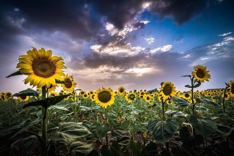 Landscape Segovia,spain Cantalejo Plant Flower Beauty In Nature Growth Flowering Plant Yellow Cloud - Sky Sunflower Sky Nature Field No People Land Tranquility