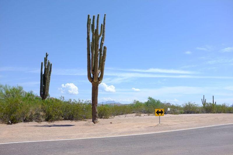 Cactus growing on road against sky