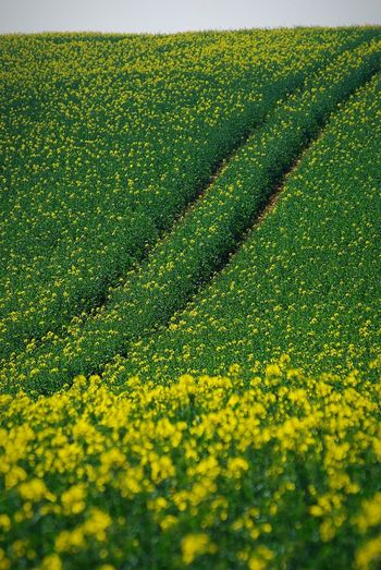 Fields of yellow Agriculture Crop  Field Farm Rural Scene Growth Landscape Nature Cultivated Land Beauty In Nature Yellow Scenics Oilseed Rape Cultivated Springtime Tranquility Plant Day No People Flower New Forest, Hampshire. UK