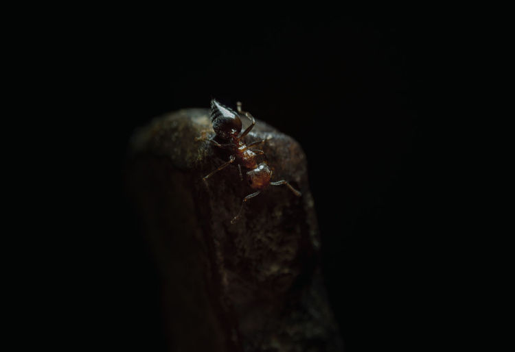 Ant Black Background One Animal Animal Studio Shot Animal Themes Close-up No People Animal Wildlife Animals In The Wild Copy Space Indoors  Invertebrate Animal Body Part Selective Focus Nature Insect Night Dark Shell Marine
