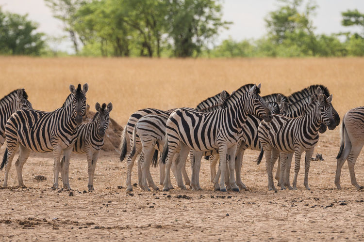 Zebra's Zebra's Wildlife Group Of Animals Etosha National Park Daytime Nature Animals In The Wild Animals Safari Safari Animals Travel Destinations Tourist Destination Namibia