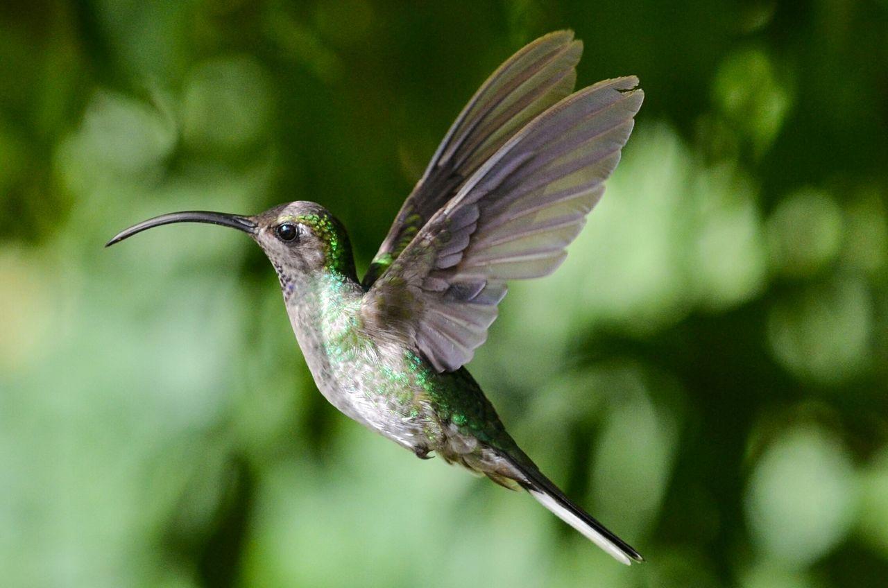 Close-Up Of Hummingbird Flying Outdoors