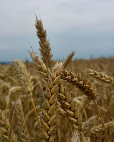Close-up of crops on field