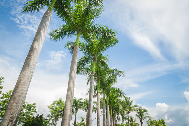 palm trees on blue sky and white clouds Beauty In Nature Blue Cloud Cloud - Sky Cloudy Coconut Palm Tree Day Green Color Growing Growth Low Angle View Nature No People Outdoors Palm Tree Scenics Sky Tall Tall - High Tranquil Scene Tranquility Tree Tree Trunk