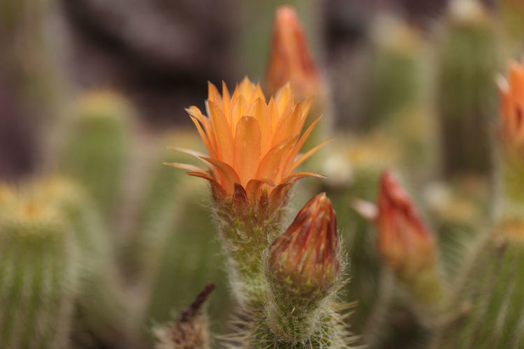 Red orange flower blooms on a Lobivia huascha andalgala cactus in a desert in Argentina Argentina Beauty In Nature Cactus Cactus Flower Close-up Day Desert Flower Flower Head Fragility Freshness Growth Lobivia Huascha Andalgala Nature No People Orange Flower Outdoors