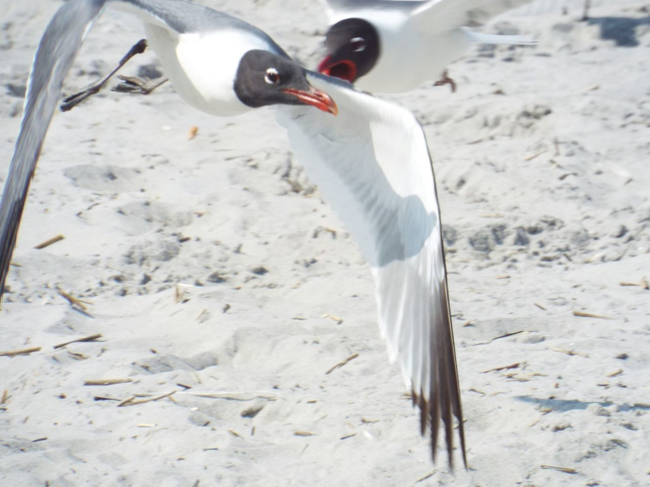 bird, animals in the wild, animal themes, one animal, animal wildlife, white color, beak, day, no people, nature, crane - bird, spread wings, outdoors, water, close-up