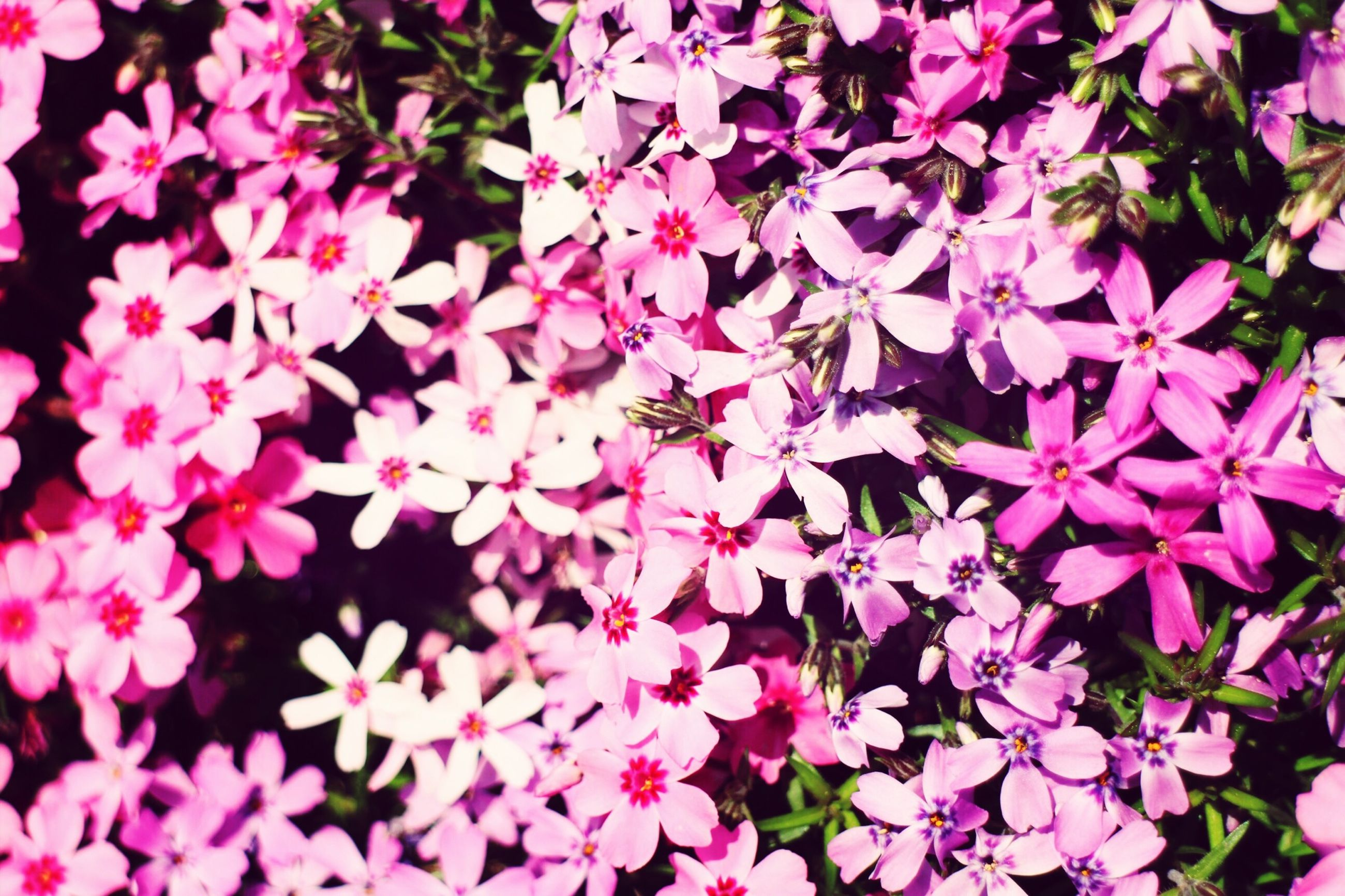 full frame, backgrounds, flower, pink color, growth, fragility, beauty in nature, nature, leaf, freshness, petal, plant, high angle view, close-up, outdoors, no people, day, abundance, season, park - man made space