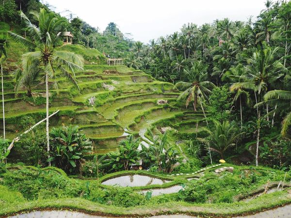 Nature Terraced Field Field Agriculture No People Tranquility Beauty In Nature INDONESIA Tegalalang
