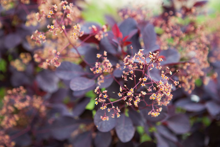 Cotinus coggygria Cotinus Coggygria Garden Flowers Gardening Royal Purple Agronomy Blooming Blossom Close-up Flower Flower Head Garden Garden Photography Growth Landscape Gardening Nature No People Outdoors Purple Plant Selective Focus Shrub Springtime Tree