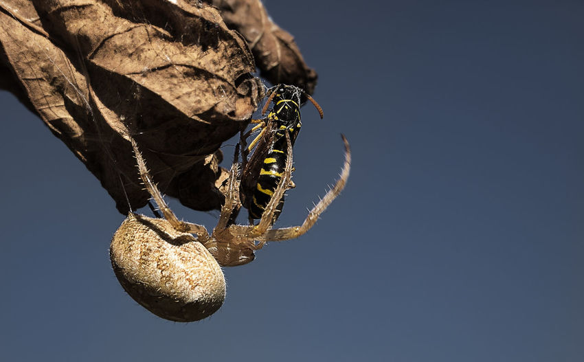 Close-up of spider eating wasp on dried leaf against sky