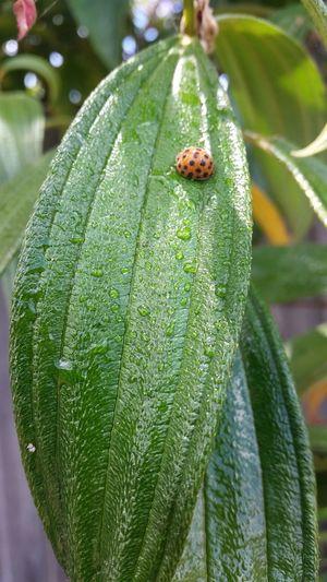 Ladybeetle Nature Waterdrops