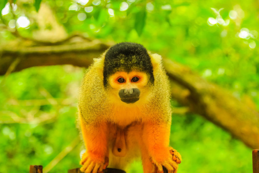 Bolivian Squirrel Monkey. Orange-brown Monkey in the forest, Saimiri Boliviensis species living in South America, Amazon rainforest basin of Brazil. Fruits Monkey Monkeys Animal Wildlife Primate Ape Forest Nature Wild Trees South Africa South America Amazon Rainforest Rainforest Feeding  Mammal Bolivian Squirrel Monkey Squirrel Monkey Bolivia Brazil Animal Themes One Animal Animals In The Wild Animal Wildlife Vertebrate Tree Plant Looking At Camera Focus On Foreground No People Portrait Day Outdoors Branch Close-up