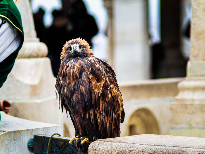 A proud eagle in budapest, ready to stay on your hand and be photographed.