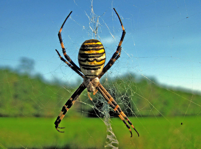 The wasp spider, Argiope bruennichi, Argiope Bruennichi, Animal Themes Insect Macro Nature_collection No People Outdoors Spider The Wasp Spider Wildlife