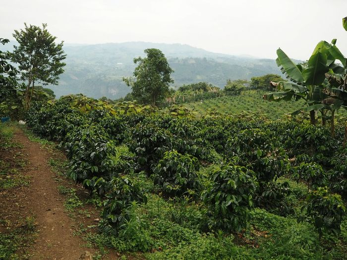 Coffee Landscape Colombia Tree Agriculture Rural Scene Field Water Crop  Sky Green Color Cultivated Land Agricultural Field Plantation Farmland Cultivated