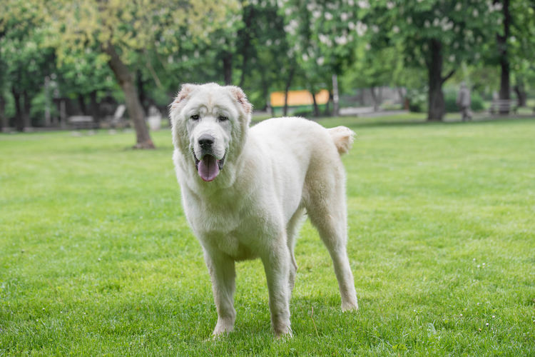 Central Asian Shepherd Dog. Alabai - An Ancient Breed From The Regions Of Central Asia Alabai Animal Themes Day Dog Domestic Animals Grass Green Color Looking At Camera Mammal Nature No People One Animal Outdoors Pets Portrait Shepherd Tree