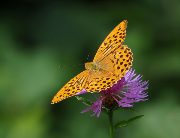 Argynnis paphia Argynnis Paphia Best Shots Nature Animal Themes Animals In The Wild Butterfly Butterfly - Insect Close-up Day Flower Focus On Foreground Insect Insects  Kaiserfalter Macro Nature No People One Animal Outdoors Perching Plant Spread Wings