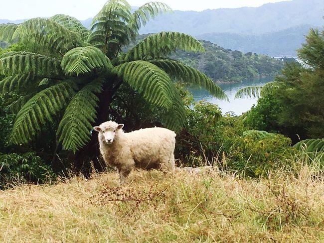 Sheep Sheeps Sheep🐑 Scenics Scenic Fern Ferns Animal Themes Animal Animels Animal Wildlife Animal Photography
