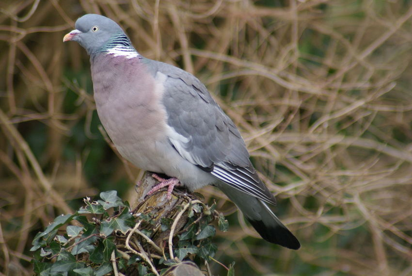 Animal Themes Animal Wildlife Animals In The Wild Bird Close-up Day Nature No People One Animal Outdoors Pigeon