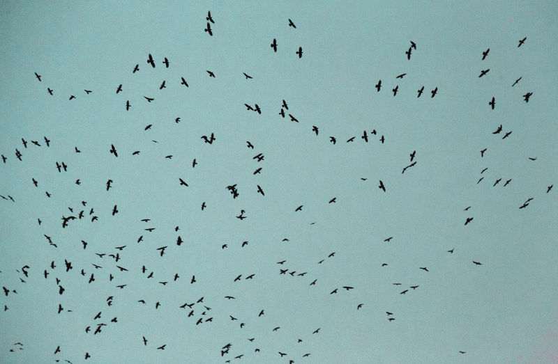 Animals In The Wild Animal Wildlife Animal Themes Large Group Of Animals Bird Animal Flying Group Of Animals Vertebrate Flock Of Birds Sky No People Low Angle View Nature Day Mid-air Silhouette Beauty In Nature Abundance
