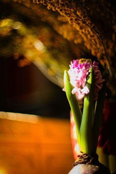 цветы весна Spring Flowers Giacint Russia