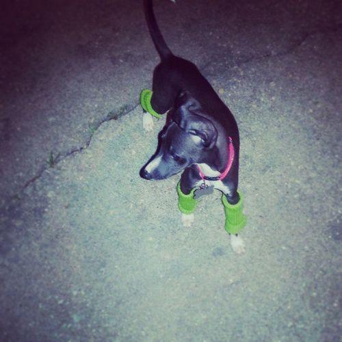 Bane and his leg warmers :) Bane Puppylegwarmers Italiangreyhoundofinstagram