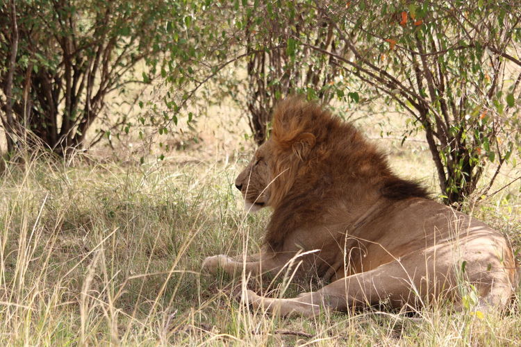 Lion looking away against plants
