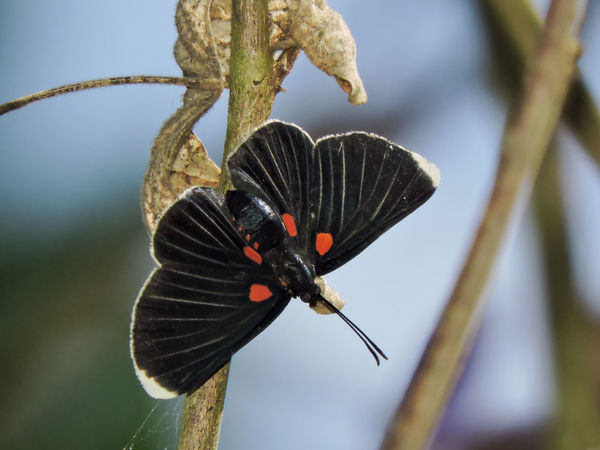 Animal Themes Animals Beauty In Nature Black Black Butterfly Blue Butterfly Close-up Insect Insects  Magazhu Metalmark Natural Pattern Nature No People Outdoors Red Tropical Tropical Butterfly Twig Yelapa Showcase July