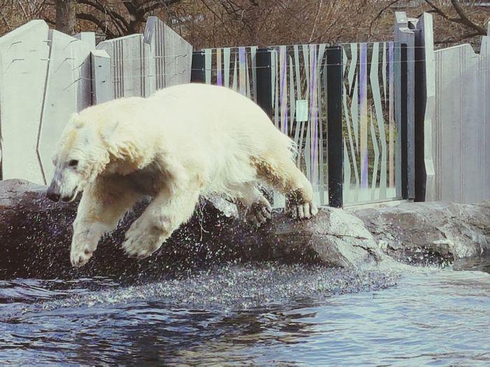 Eisbär Sprung Ins Kalte Wasser Water Animal Themes