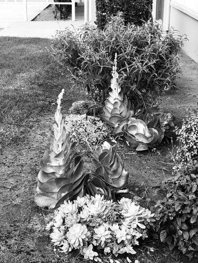 Plant Succulents Nature Flower Flower Head Garden B&w B&W Collection B&w Photography B&w Photo B&W Collections B&w Nature Succulent Plant Succulent Succulent Plants Drought Resistant Drought Tolerant