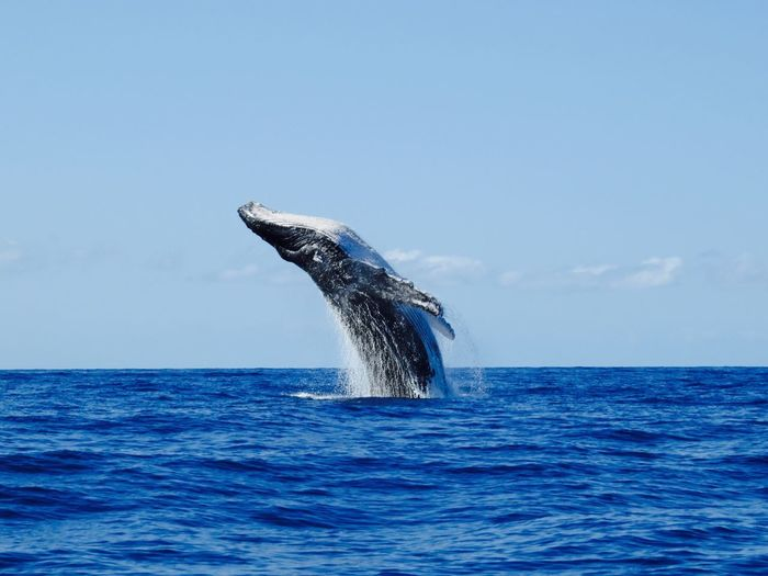Capturing Freedom The real Free Willy Whale Free Willy Hawaii Whale Watching Nature_collection Market Bestsellers May 2016 Bestsellers