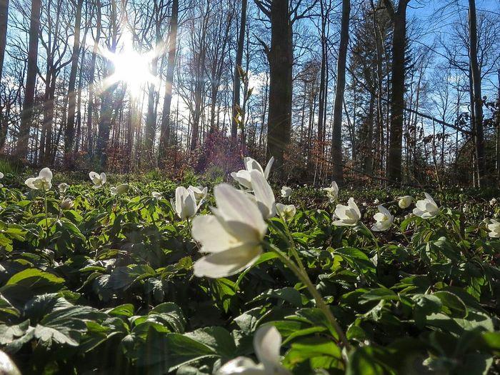 Wood Anemones Spring Flowers Forest Landscape Nature