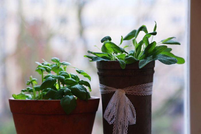 Window In The Window Plants Plant Kitchen In The Kitchen Kitchen Utensils Food Herb Herbs Basil Basilica Sage Growing Growth