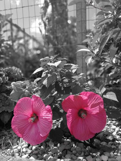 Flower Outdoors Pink Color Plant Nature Ibiscus Ibiscus Pink