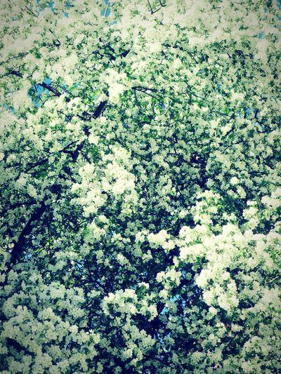 весна Весна💐🌷🌿 черёмуха Рассвет🌇🌄 Beautiful Природа Beautiful Nature нежность рассвета Beauty In Nature утро Day No People Nature Beauty In Nature красота Beautiful Day Tree