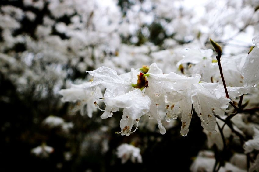 Beauty In Nature Fragility Fleur Flower Beauty In Nature White Color Plant Japan No People Nature 桜 Close-up Flower Head
