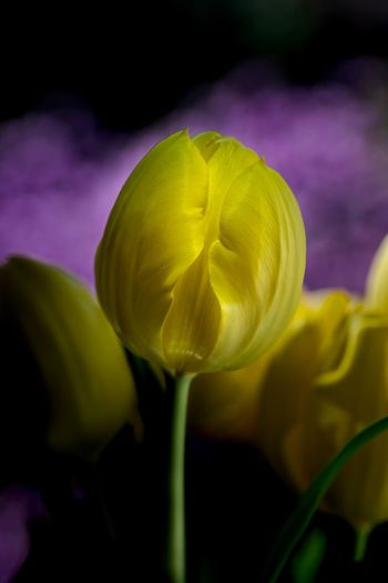 tulip l Sony