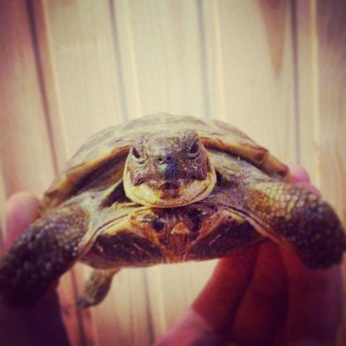 питомец черепаха казань Шанхай ташбакамаленький