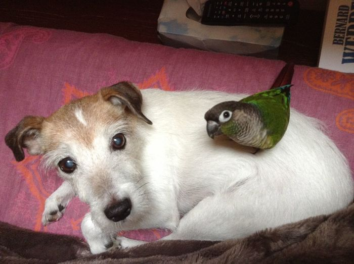 Animal Themes Bird Conure Digital Art Dog And Birds Friendship Jack Russel Terrier Jack Russell Parrot Parson Parson Russell Terrier Parsonsjackrussell Pets