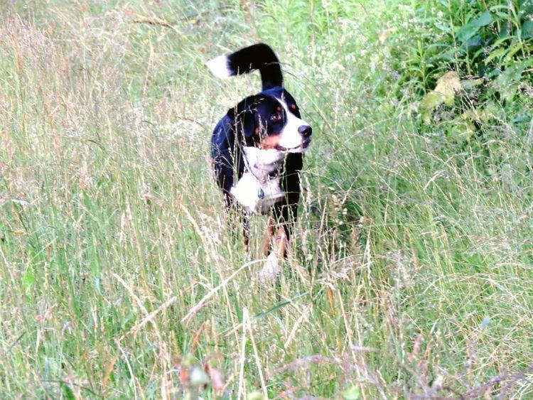 Appenzellermountaindog Dog Walking Dog In Nature Dog In Grass Dog Love I Love My Dog Best Friends Dog Of The Day Easy Life Dogwalk Dogphoto